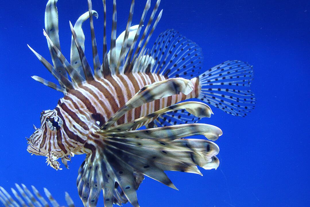 Aslan Balığı